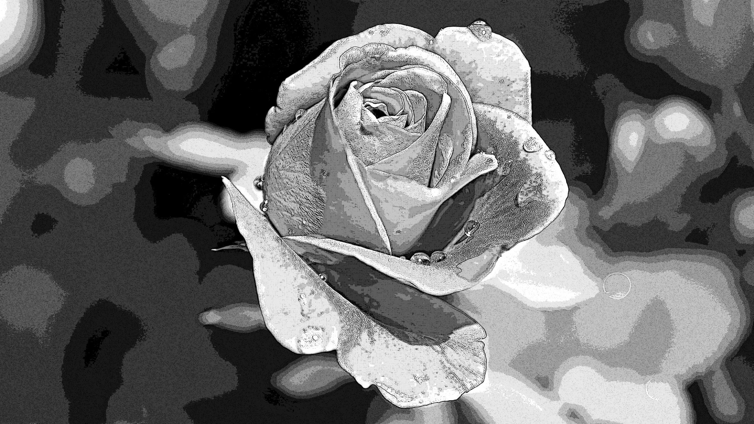rose-402671retouchée3