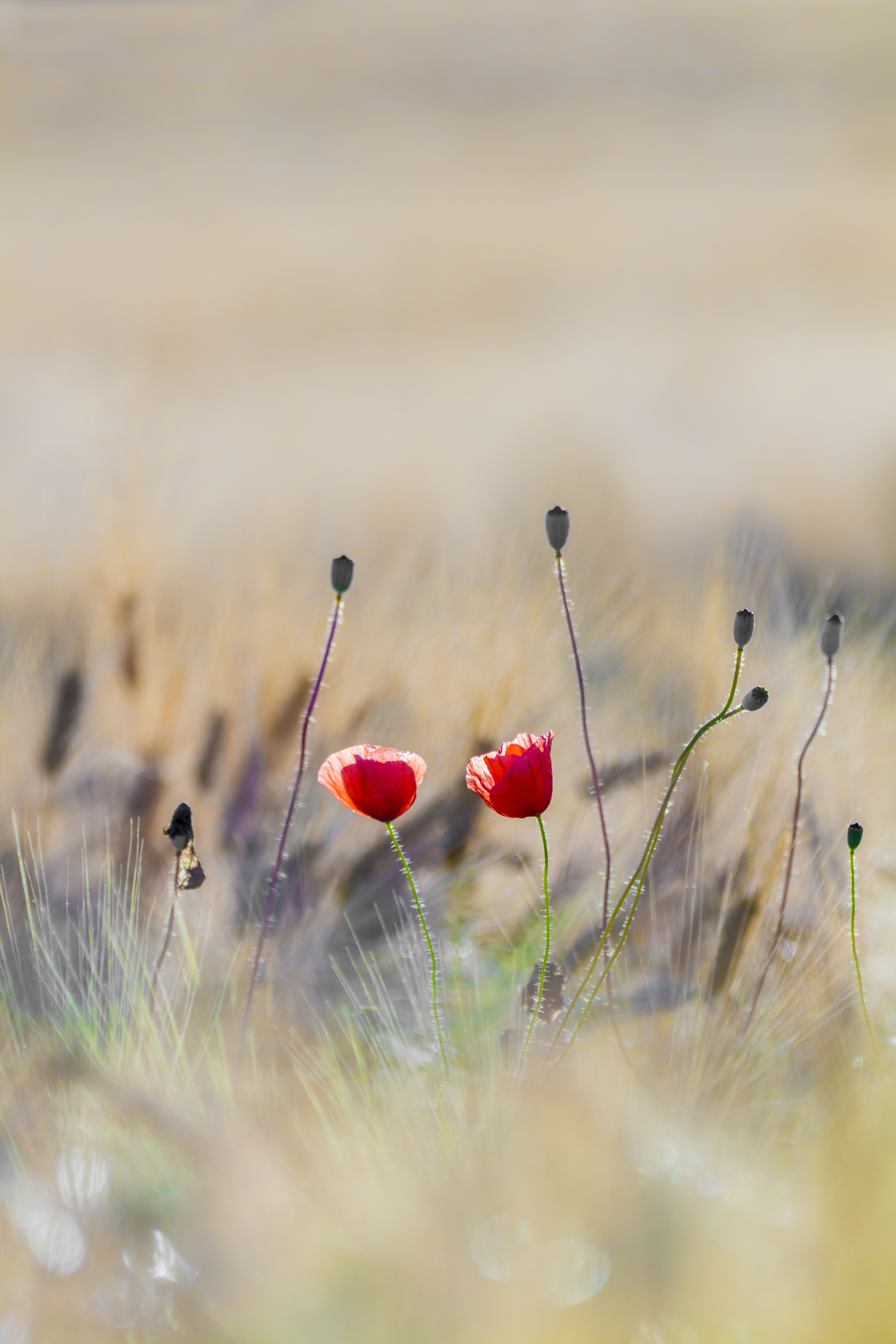 poppy-2444103
